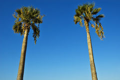 Two palms Stock Photo