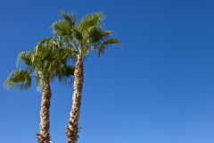 Two Palms. Two tall palm trees against a beautiful blue sky royalty free stock images