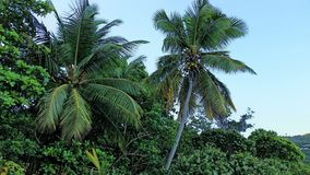 Two Palms. Two coconut trees surrounded by sea grape trees and other foliage on Cinnamon Bay, St. John Stock Images