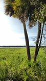 Two palms, myakka state park. Florida. Two palms on a sunny day stock photography
