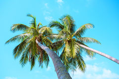 Two palms on a sky background. Koh Samui Thailand Stock Photography