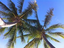 Two palms skyward. View of palms from beach hammock at Key West, Florida USA Royalty Free Stock Photography