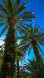 Two palms tree. View from below of a palm tree on the Mediterranean coast Stock Photos