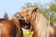 Two palomino draught horses playing Stock Photo