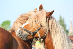 Two palomino draught horses playing Royalty Free Stock Photography