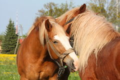 Two palomino draught horses playing Stock Photos