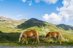 Two palomino horses browsing with mountains and sky stock images