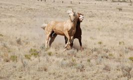 Two Palomino Horses Play Side by Side Friends Buddies Stock Photography