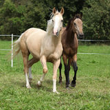 Two palomino horses running. On pasturage in autumn Royalty Free Stock Images