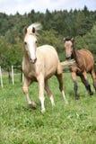 Two palomino horses running. On pasturage in autumn Stock Image