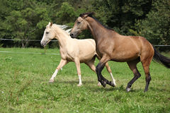 Two palomino horses running. On pasturage in autumn Royalty Free Stock Photo