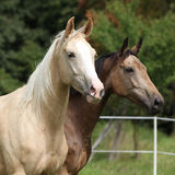 Two palomino horses running. On pasturage in autumn Stock Photography