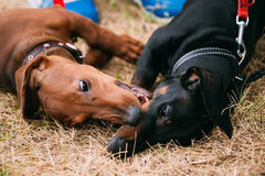 Two palyful Brown and Black Dachshund Dogs Royalty Free Stock Image