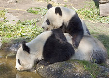 Two panda bears Stock Photography