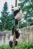 Two Panda bears cubs playing Sichuan China Royalty Free Stock Images