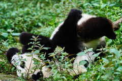 Two Panda bears cubs playing Sichuan China Stock Image