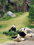 Two pandas. Eating bamboo in zoo Royalty Free Stock Images