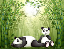 Two pandas in the bamboo forest Stock Images