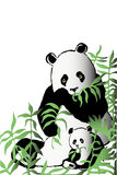 Two pandas in bamboo thickets Stock Images