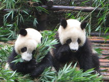 Two Pandas. Breaking bread together Stock Images