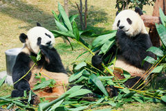 Two pandas eating bamboo Royalty Free Stock Photos