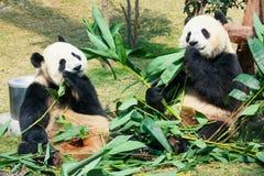 Two pandas eating bamboo Royalty Free Stock Photos