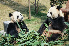 Two pandas eating bamboo Royalty Free Stock Image