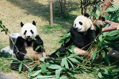Two pandas eating bamboo Royalty Free Stock Images