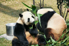 Two pandas eating bamboo Royalty Free Stock Photo