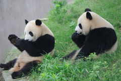 Two pandas eating cake Royalty Free Stock Images