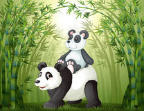 Two pandas inside the bamboo forest Stock Photography