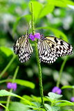 Two Paper Kite, Rice Paper, or Large Tree Nymph butterfly (Idea Stock Photo