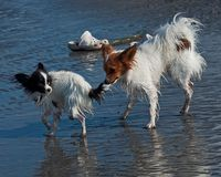 Two Papillon died bathing in the sea. While one would like to tease the buddy royalty free stock photo