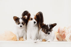 Two Papillon dogs mother and her puppy Royalty Free Stock Photos