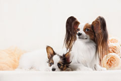 Two Papillon dogs mother and her puppy Royalty Free Stock Photo