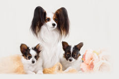 Two Papillon dogs mother and her puppy Stock Photo