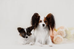 Two Papillon dogs mother and her puppy Stock Image