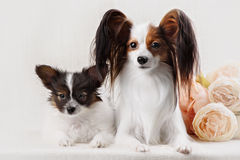 Two Papillon dogs mother and her puppy Royalty Free Stock Image