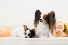 Two Papillon dogs mother and her puppy Stock Photography