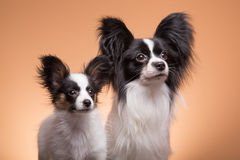 Two papillon dogs on pink background Stock Image