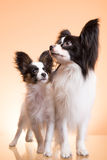 Two papillon dogs on pink background Stock Photo