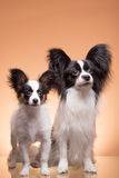 Two papillon dogs on pink background Royalty Free Stock Photography