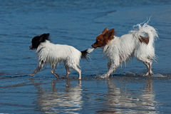 Two papillon Stock Photography