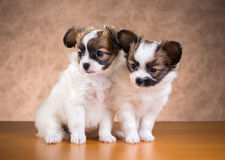 Two Papillon puppies. Age of one and a half months on a brown background Stock Images