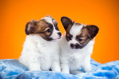 Two Papillon puppies on a orange background Stock Images