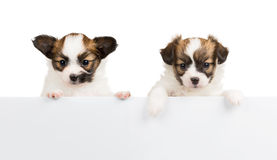 Two Papillon puppies on white background Royalty Free Stock Photography