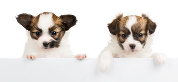 Two Papillon puppies on white background Royalty Free Stock Image