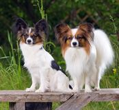 Two Papillons Stock Photo