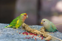 Two parakeet eating millet on rock Royalty Free Stock Photo