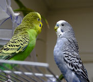 Two parakeets Royalty Free Stock Photo